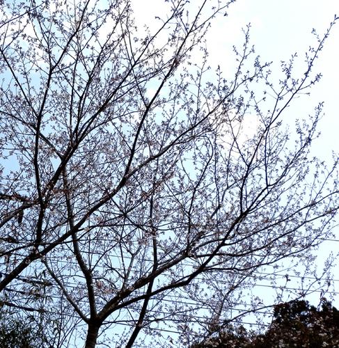 P3270001yamazakura.jpg