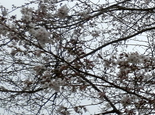 P3280004sakura2.jpg